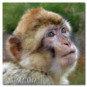 obraz małpka 1 - 100x100cm na płótnie, obraz, małpka