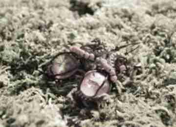 Czerwone nie konopie kolczyki listka żywicy miedzi żywica