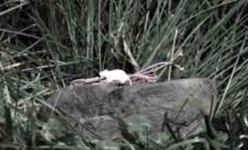 Szczur, szczurek - bransoletka, srebro pozłacane pasja i pedzlem