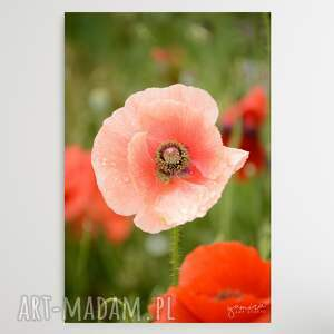 maki - foto-obraz 30x40cm, maki, rozowe kwiaty, polne laka, obraz