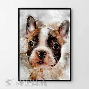 plakat obraz buldog 50x70 cm b2, pies, buldog, nowoczesne obrazy, grafika