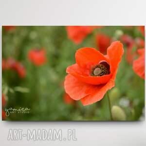 maki iii - foto-obraz 30x40cm, maki, kwiaty, czerwone natura, kwiat