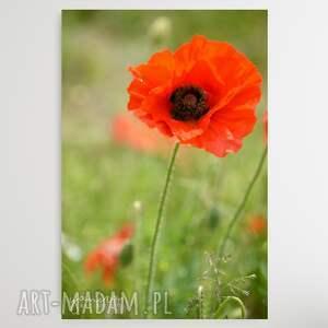 maki v - foto-obraz 30x40cm, maki, kwiaty, czerwone polne obraz