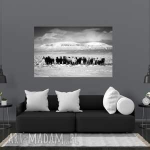 plakat - fotografia islandzkie konie iii, konie, islandia