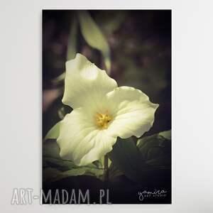 trillium flower - foto-obraz 30c40cm, kwiaty, kwiat, natura, ogrod, bialy kwiat