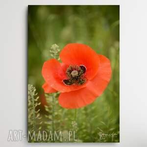 maki iv - foto-obraz 40x60cm, maki, kwiaty, czerwone natura, kwiat, obraz