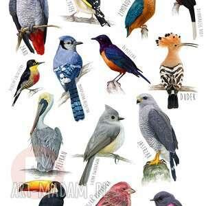 oryginalne plakaty plakat (a3) - ptaki